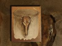 wandpaneel-gnoe-schedel-in-antiek-goud-met-craquele-achtergrond